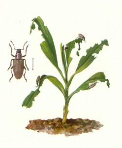 Tanymecus dilaticollis