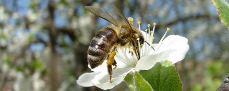 Dacǎ albinele vor dispǎrea, umanitatea ȋşi va numǎra zilele!