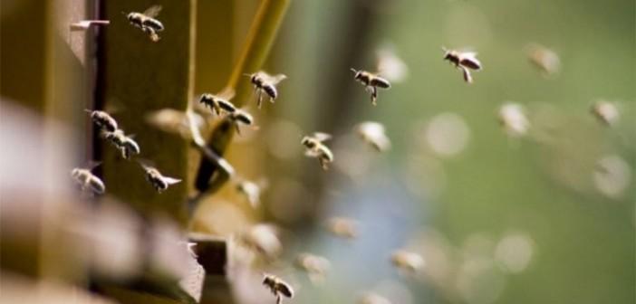 Zborul de curatire – etalonul din iarna privind starea de sanatate al albinelor