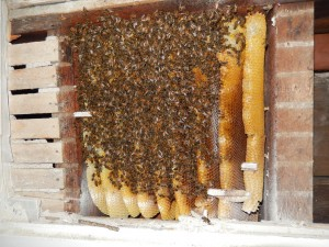 Sursa: http://superiorbeekeepingclub.weebly.com/club-news/bee-busters-save-wild-hive