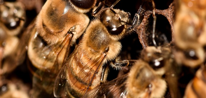 Rolul trantorilor ȋn viata  familiei de albine