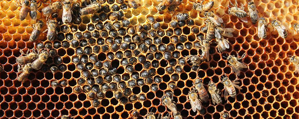 Cum pot să moară albinele de foame avand hrana din belsug