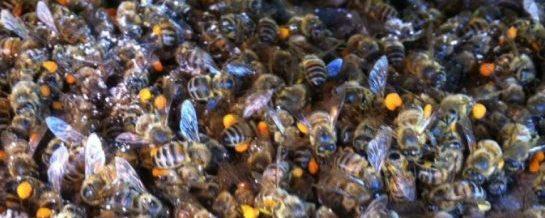 Ce insecticide protejează albinele și din ce motiv legislația actuală este deficitară